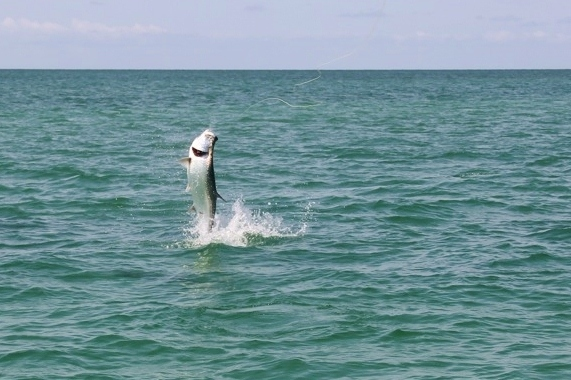 Charlotte Harbor Tarpon on Fly tailwalking towards the Beavertail Skiff