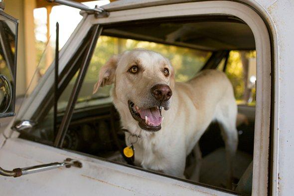 fotografias fofas meigo cachorros cães em carros