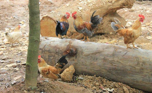 Độc đáo thuần hóa gà rừng Cả đàn thả nuôi tự do như gà nhà
