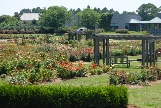 The enormous rose garden, which was blooming its heart out in July.