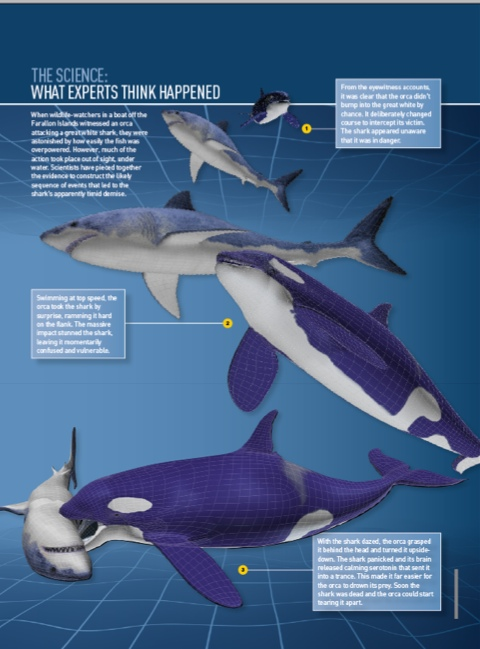 a comparison of tiger sharks and great white shark The tiger shark is runner up to the great white as most deadly shark in the world in terms of the number of attacks on humans 3 earning its stripes  tiger sharks.