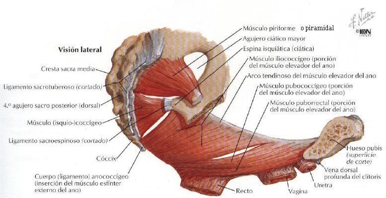 musculos de la pelvis imagenes: