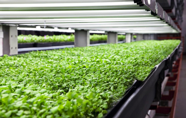 verduras en hidroponía