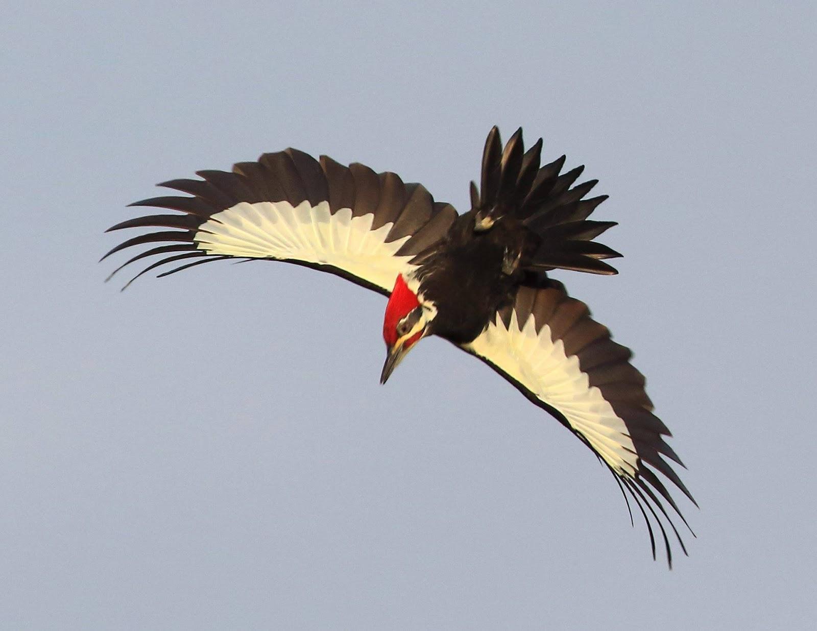 Zealotry Of Guerin Pileated Woodpecker In Flight David