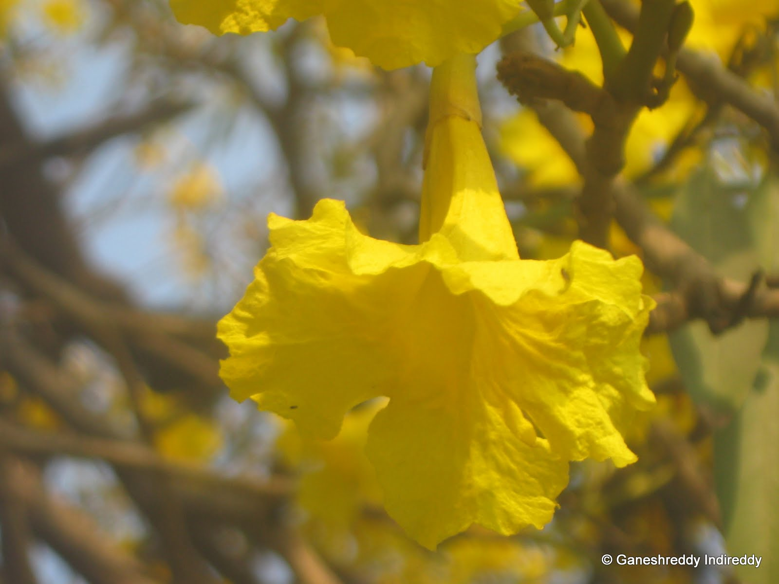 Lucky Nut Or Mixican Oleander Or Yellow Oleander Flowers Lake View