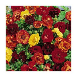 Potentilla - Fireball Mixed