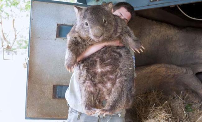patrick wombat