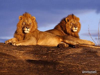Xem hinh anh dep về sư tử