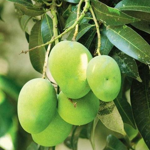 Mango - Rajshahi, Bangladesh