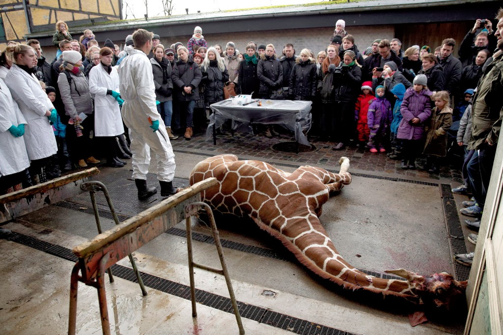 Dánia, állatkert, állatvilág, fajfennmaradás, beltenyészet, zsiráf,