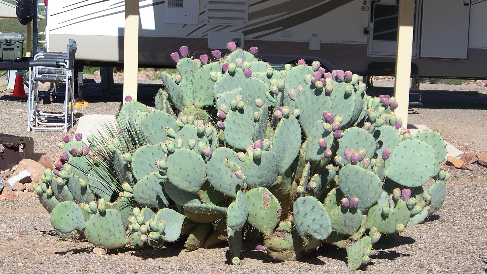 Cactus at our site in Rockhound