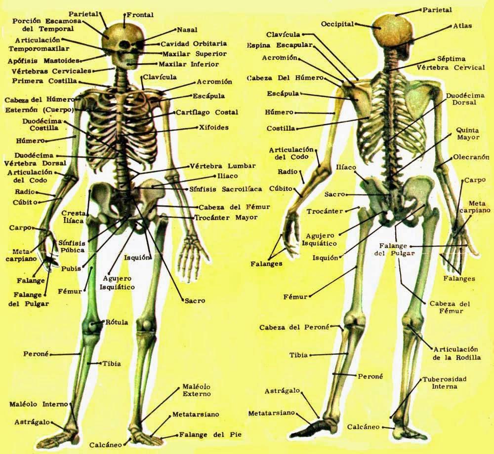 Aprendiendo Fisiología: Unidad 1: Tejido Muscular y Tejido Nervioso
