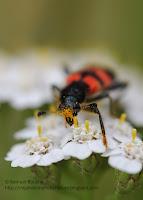 photo macro nature insecre coléoptère