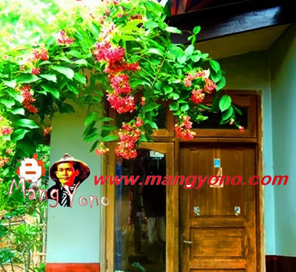 Bunga Melati Merah, Melati Belanda , Melati India, Jasmine sambac dirambatkan didepan pintu dapur Rumah saya