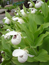 Cypripedium reginae-Lady's Slipper Orchid