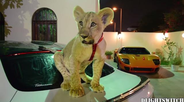 やっぱり中東はスゴい!富豪のペットのライオンが高級車の上で休憩。