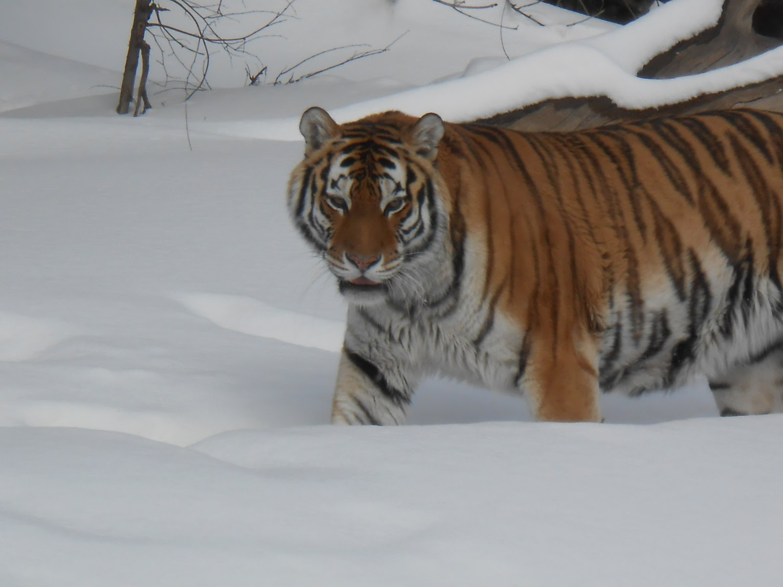 Moscow Tiger