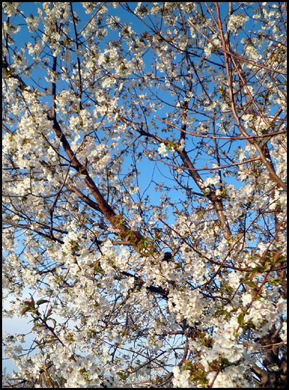 Cerezo en flor, a Matalasviñas, Piedralaves