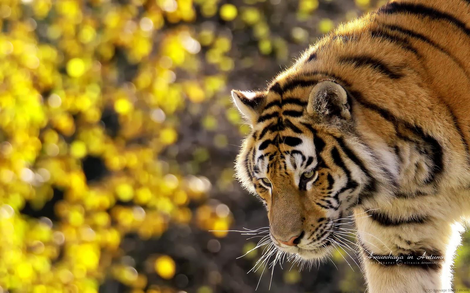 Husn ke nazare tigers wallpapers - Nature ke wallpaper ...