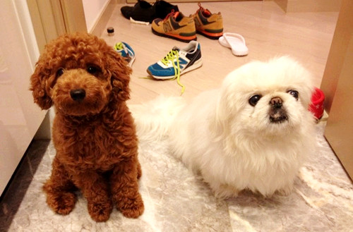 Youlong Poodle Breeding Center Some Feedback From Hong