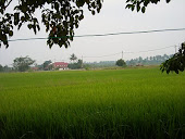 sawah padi