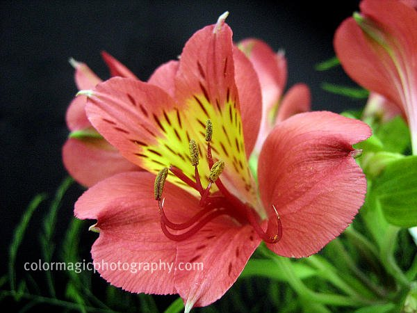 Alstroemeria on dark background