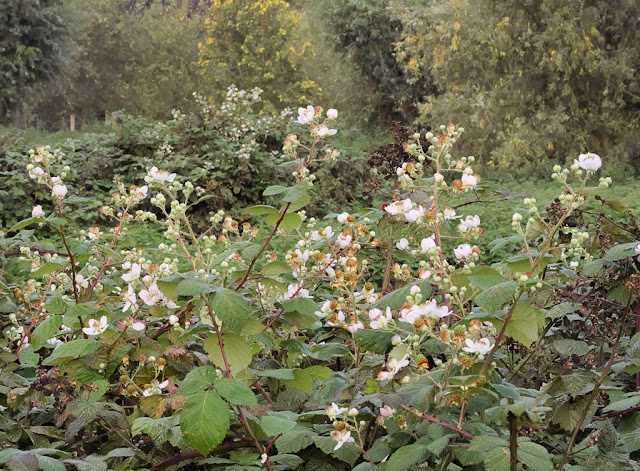 Brambles in flower