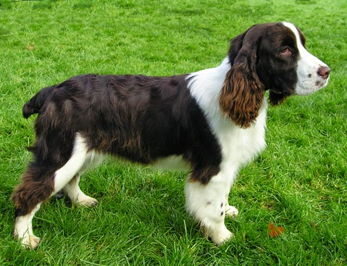 Cute Amazing English Springer Spaniel