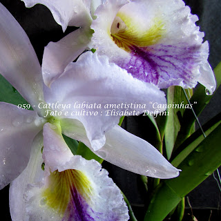 "Cattleya labiata ametistina ""Canoinhas"" do blogdabeteorquideas"