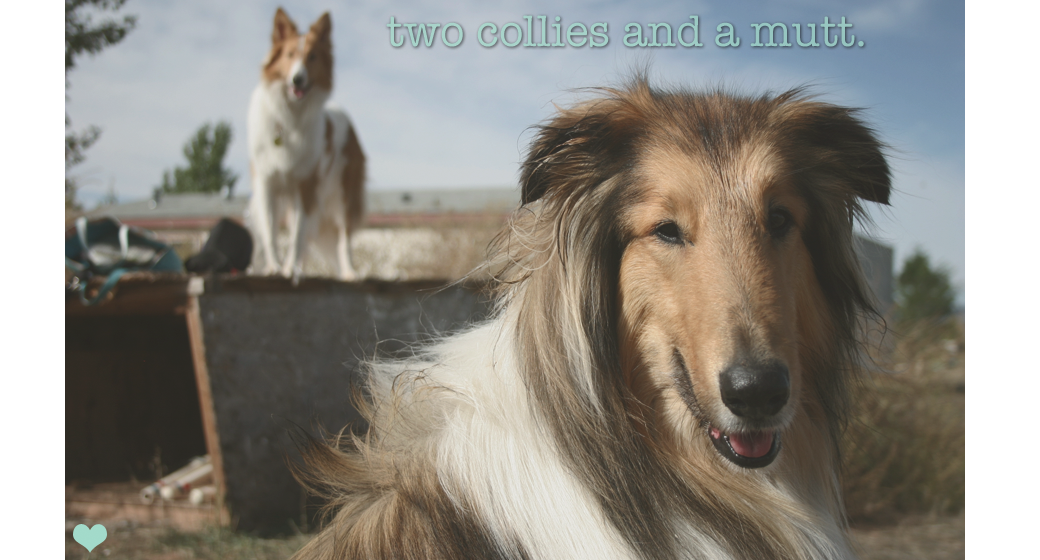 Two Collies and a Mutt