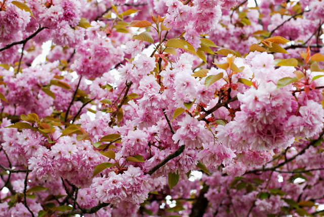 fruit tree bloom period pink
