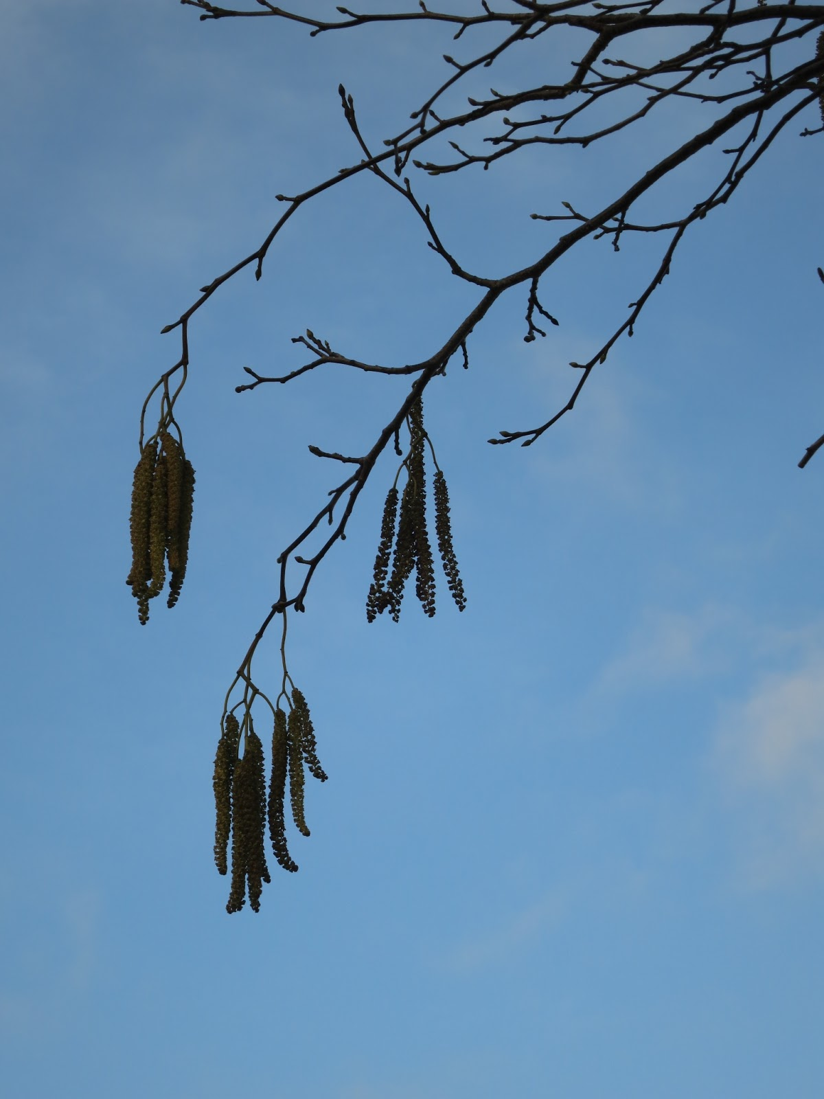 Groups of catkins hanging from bare branches against a blue sky.
