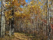 Autumn birch trees in Northern Minnesota