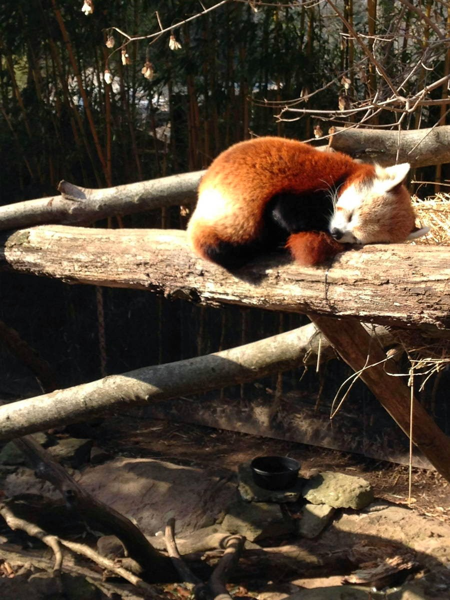 40 Adorable red panda pictures (40 pics), red panda sleeping in a log at the zoo
