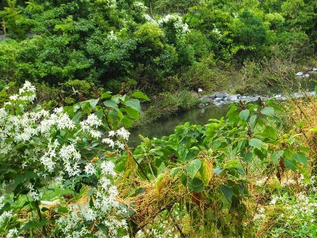 小畑川と多数の白い花をつけるセンニンソウ。