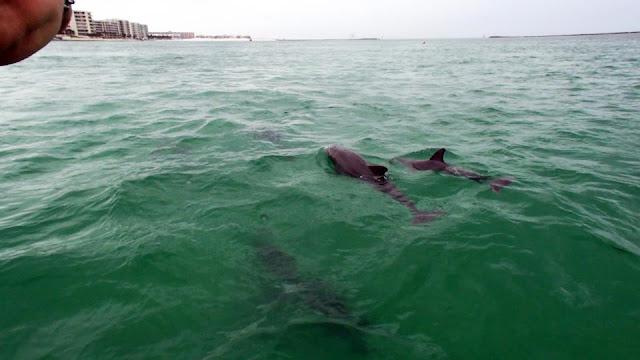 destin snorkel dolphins