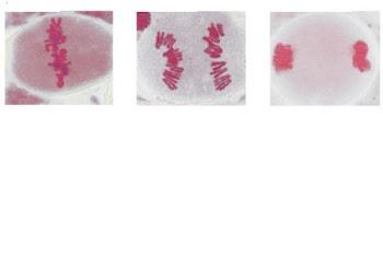 Cambios en la célula que ocurren en la Meiosis !