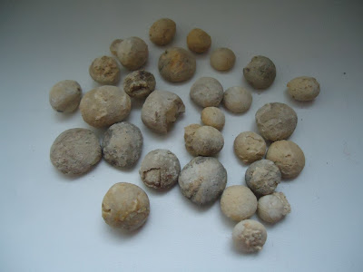 Huge Lot of 29 Fossil Sea Urchin Echinoids