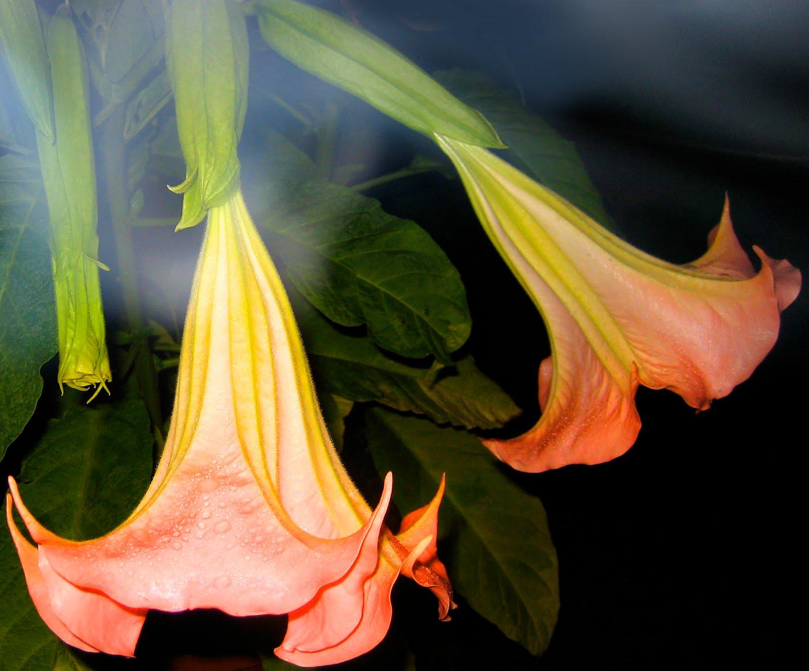 Flower Picture Angel Trumpet Flower
