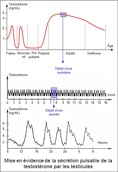 testosterone e cycle