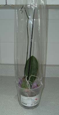[Photo: sadly neglected dried out Phalaenopsis.]