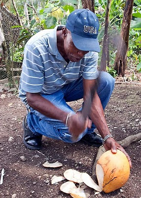 Jamaican farmer cuts open a young coconut
