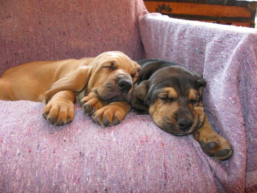 bloodhound puppy pictures and informationcorgi puppy pictures