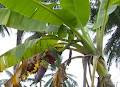 Klasifikasi ilmiah dari tanaman pisang