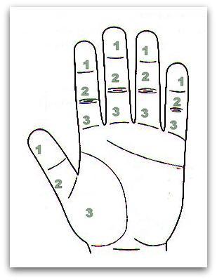 фаланги пальцев