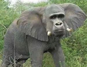 gajah aneh