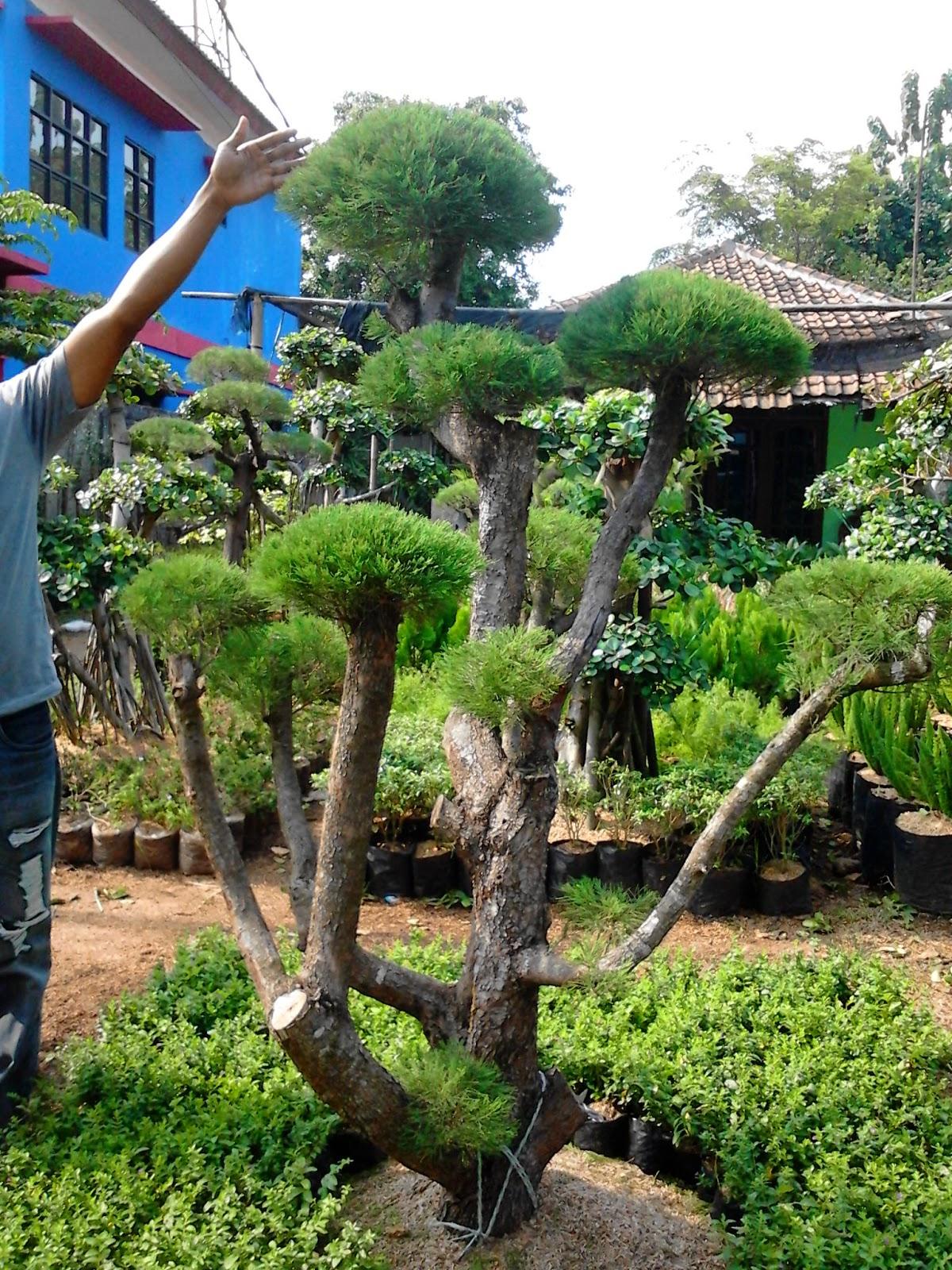 BONSAI CEMARA UDANG | JASA TUKANG TAMAN MURAH | TUKANG RUMPUT | DESIGN LANDSCAPING