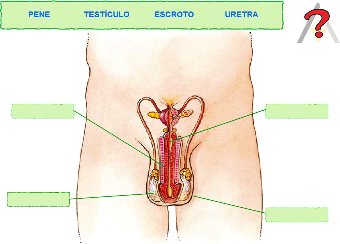 Magnífico Sistema Reproductivo Masculino Humano Fotos Adorno ...