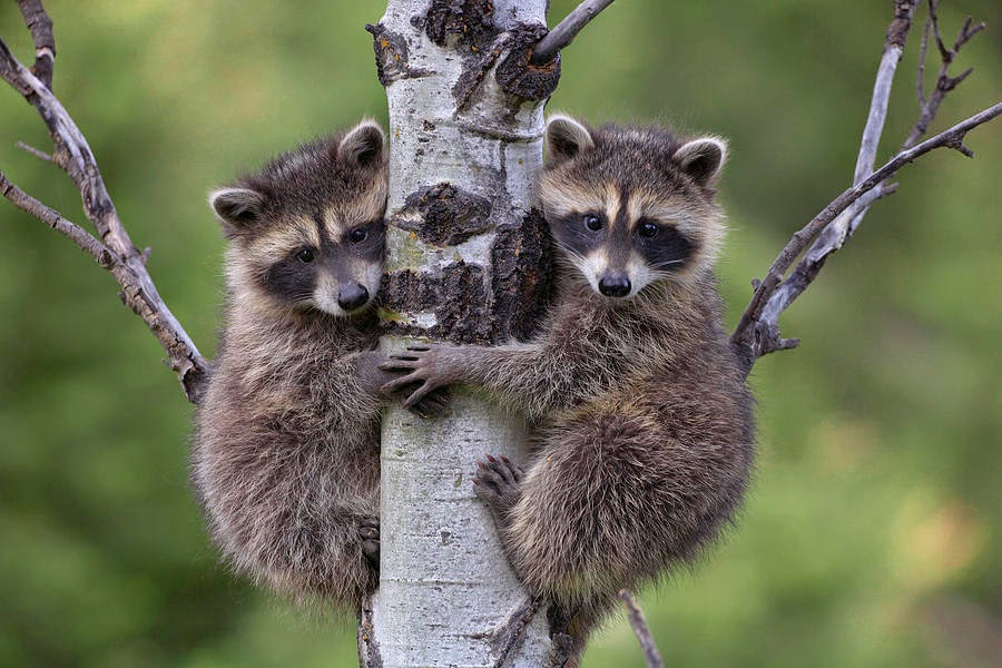 R Is For Raccoon R is for Raccoons