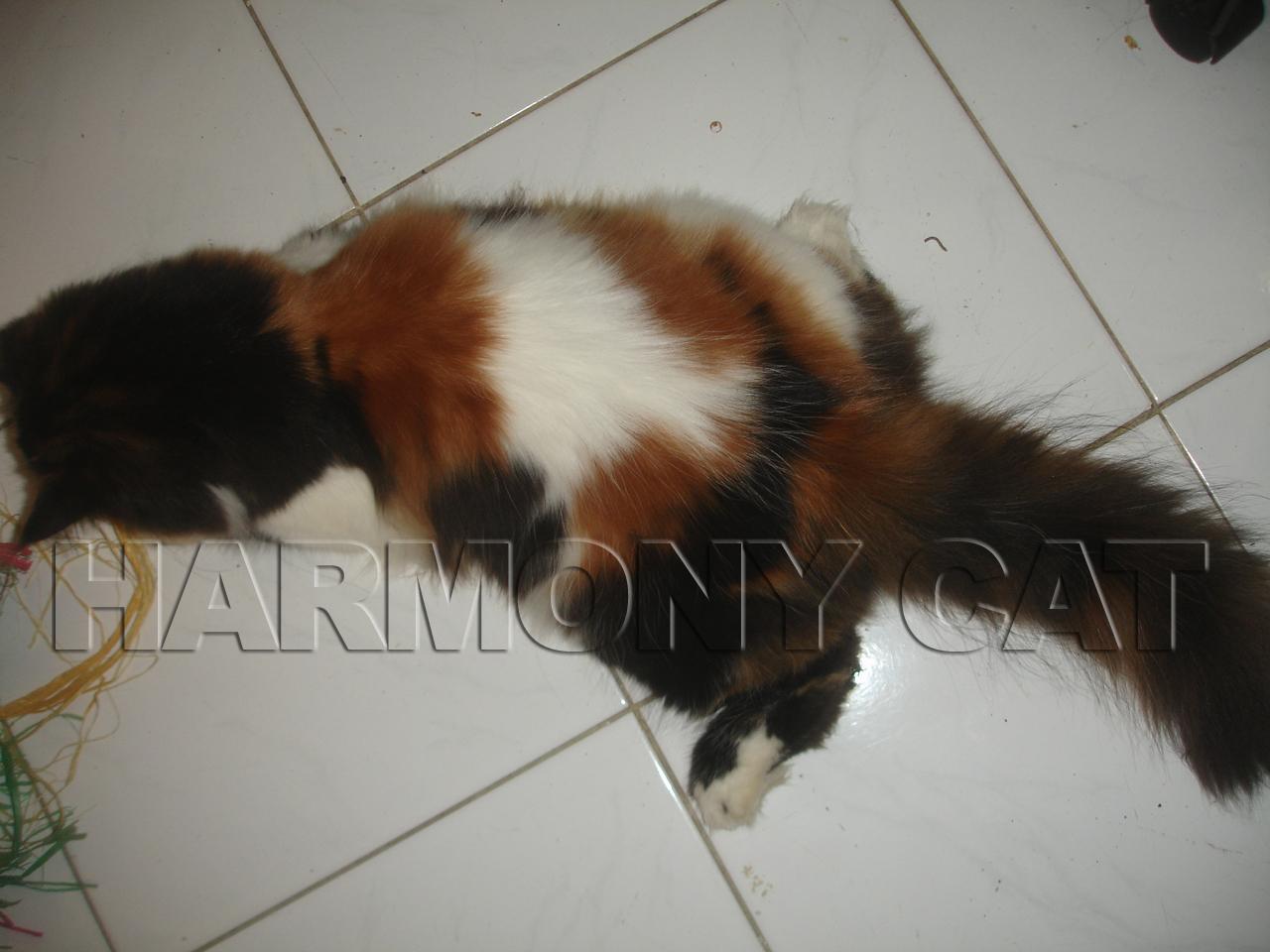 Kucing Persia Remaja Betina Belang Telon Surabaya Jual